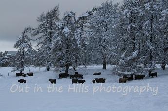 Highland cattle in Rothiemurchus